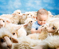 Baby among sheep