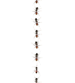 row of ants