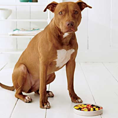 pitbull and dog dish