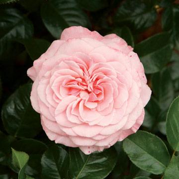 عکس های زیبا از انواع گل رز