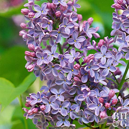 How Many Years Does it Take for a Lilac to Bloom?
