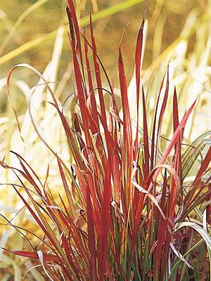 Japanese Bloodgrass