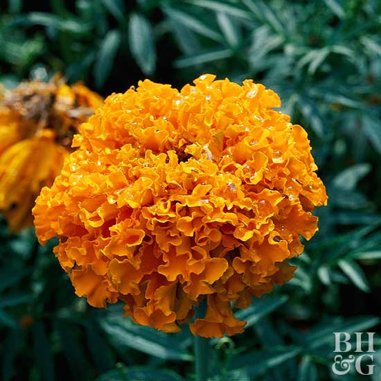 Better Homes And Gardens Sweepstakes >> African Marigold