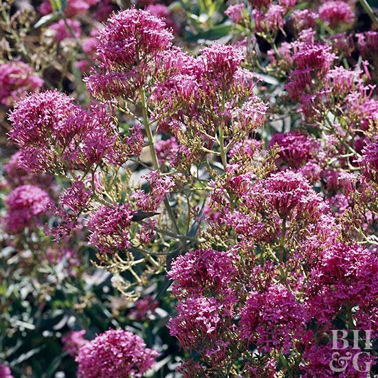 Better Homes And Gardens Sweepstakes >> Jupiter's Beard