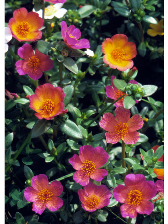 Better Homes And Gardens Magazine >> Moss rose