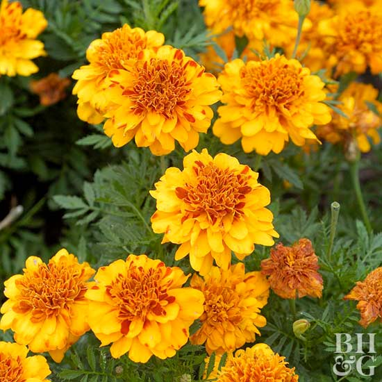 Better Homes And Gardens Sweepstakes >> French Marigold