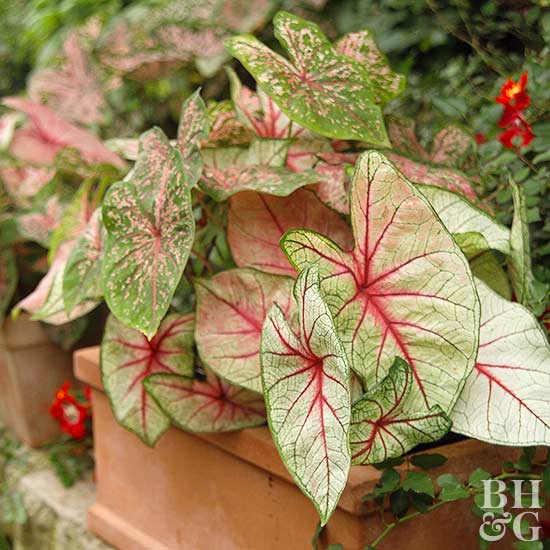 Better Homes And Gardens Sweepstakes >> Caladium