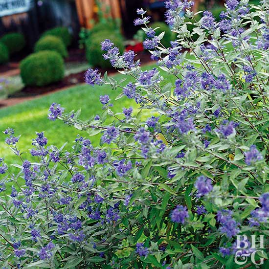 The 13 best summer blooming shrubs for your garden for Garden shrubs