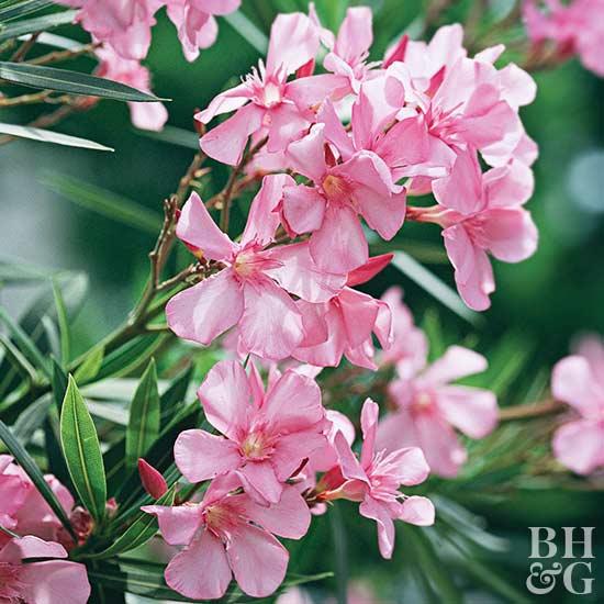 Nerium, Nerium, Oleander, Shrub,