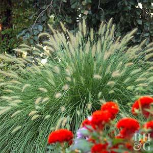 Fountaingrass