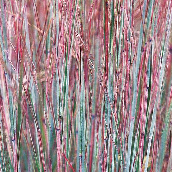 17 top ornamental grasses for Dwarf grasses perennials