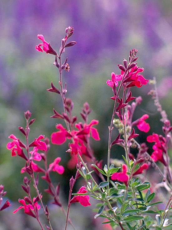 15 great native plants for southwestern gardens autumn sage publicscrutiny Image collections
