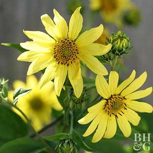 Sunflower, Perennial