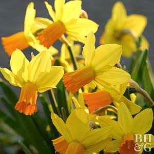 Daffodil, Cyclamineus Types