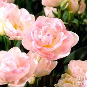 Tulip, Double Hybrids