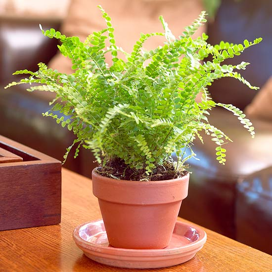 Ferns to Grow as Houseplants