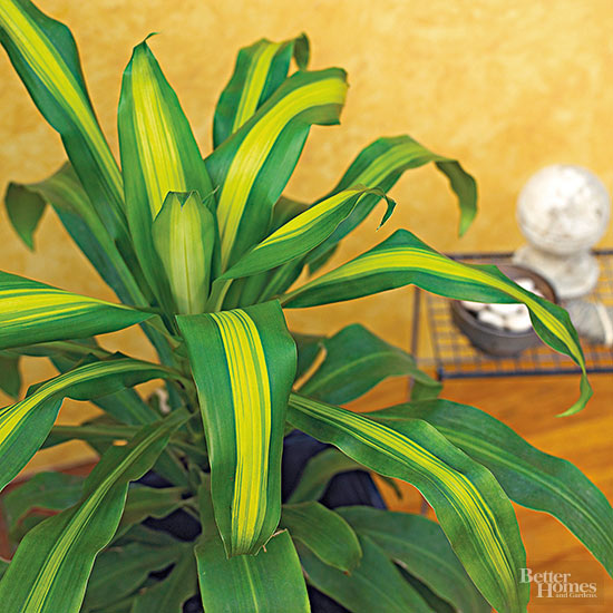 Better Homes And Gardens Sweepstakes >> How Can I Propagate My Corn Plant Houseplant?