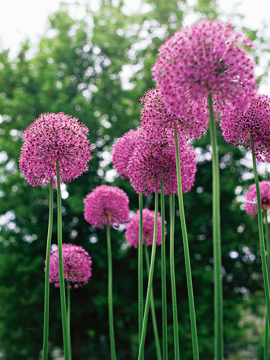 Allium mightylinksfo