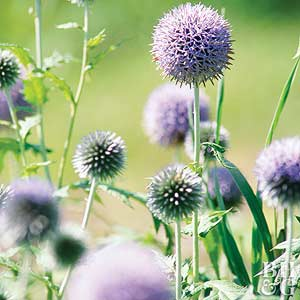 Globe thistle echinops ritro grows 2 3 feet tall its silvery leaves resemble those of a thistle spiny globe shape flowers open slivery blue and mature to bright blue mightylinksfo