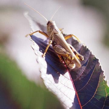 Stop Grasshoppers in Your Garden   Better Homes & Gardens