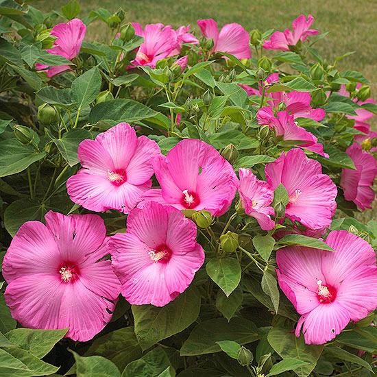 Hibiscus for Garden plant information