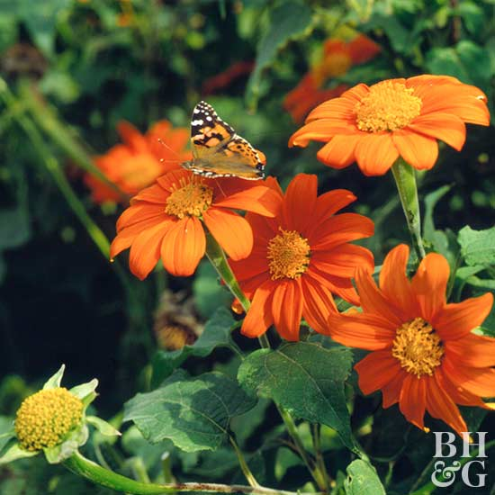 Better Homes And Gardens Sweepstakes >> Mexican Sunflower