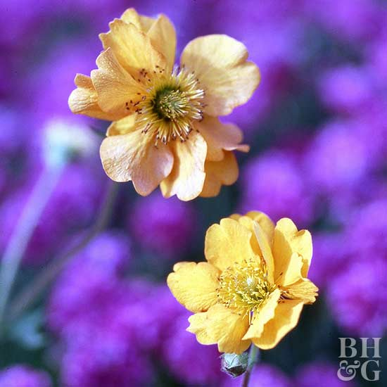 Top Drought-Tolerant Perennials for the Pacific Northwest
