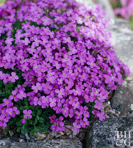 Better Homes And Gardens Sweepstakes >> Rock Cress