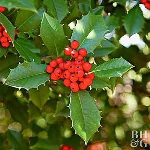 Holly Bushes