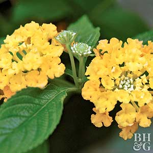 U0027Lucky Pot Of Goldu0027 Lantana