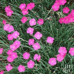 Dianthus mightylinksfo