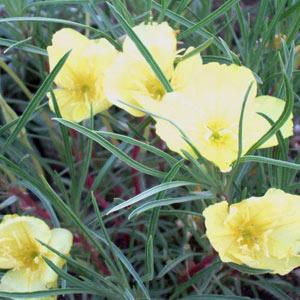 Evening primrose mightylinksfo