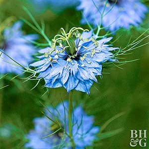 Nigella flowers | Etsy