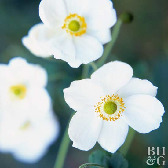 Anemone hgl101308gnditionrgestg mightylinksfo