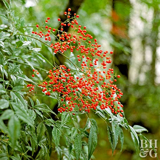 Better Homes And Gardens Sweepstakes >> Heavenly Bamboo