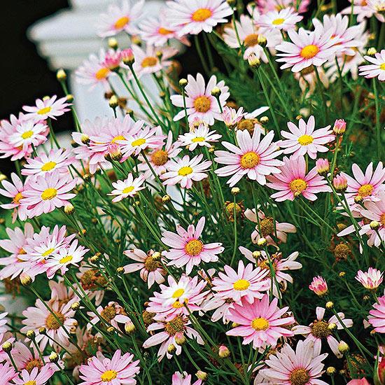 Marguerite Daisy - Argyranthemum frutescens (Chrysanthemum