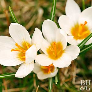 Crocus bowles white crocus mightylinksfo