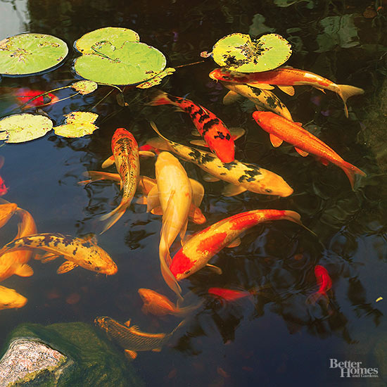Know your pond fish for Koi pool water gardens thornton