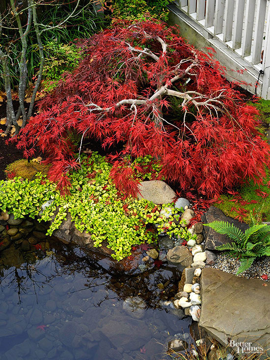 All about japanese maples for Maple trees for small gardens