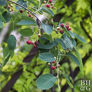 Serviceberry common serviceberry thecheapjerseys Image collections