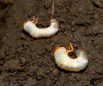Stop Grubs in Your Lawn