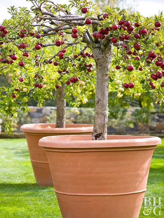 Pot a fruit tree for Small trees suitable for small gardens