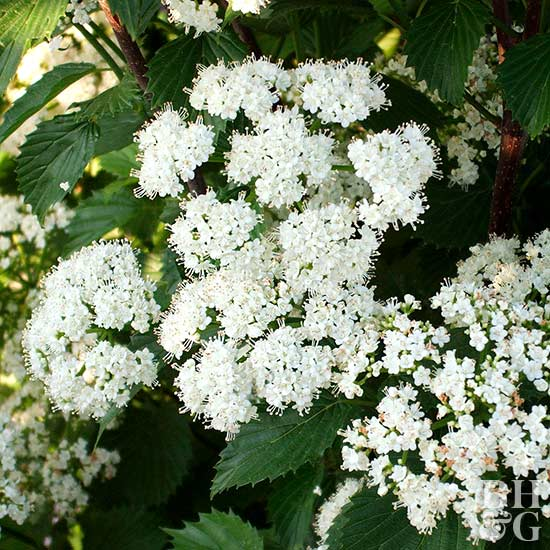 Blue Muffin arrowwood viburnum