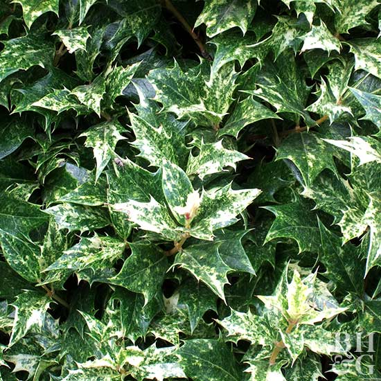 Goshiki variegated false holly
