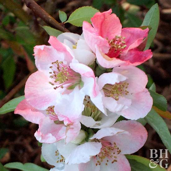 Toyo-Nishiki flowering quince