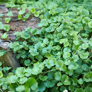 how to get rid of ground cover plants