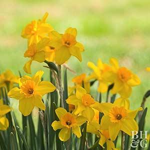 Daffodil, Jonquil Hybrids