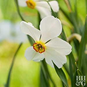 Daffodil, Poet Types