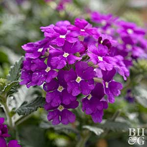 Good U0027Fuego Dark Violetu0027 Verbena