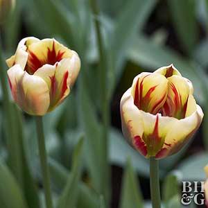 Tulip, Viridiflora Hybrids